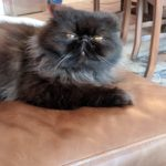 Black persian cat adoption Panama City Beach, FL