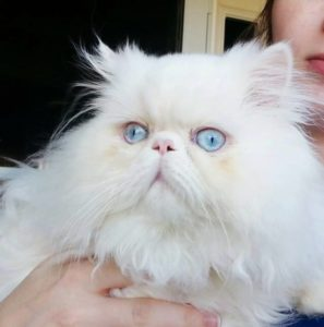 Persian Cat Adoptions Panama City Beach, FL
